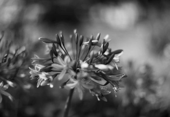 flowers b&w photography